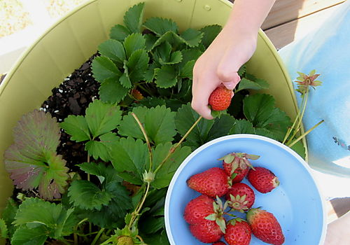 Strawberryyanking