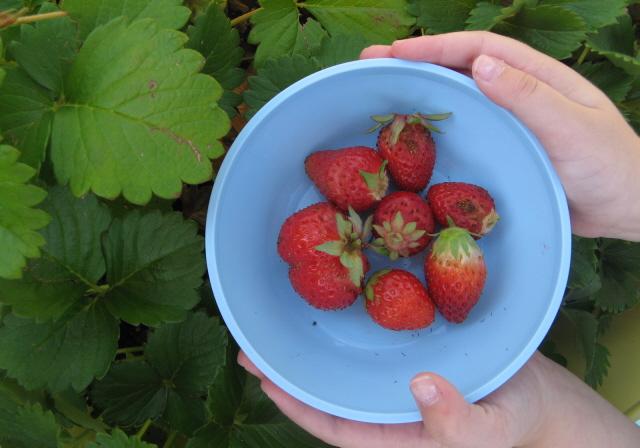 Strawberryyanking2